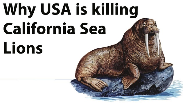 Why USA Is Killings California Sea Lions