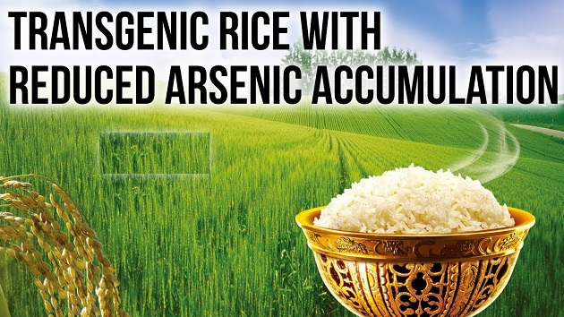 Transgenic Rise with Reduced Arsenic