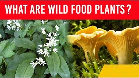 All about Wild Food Plants