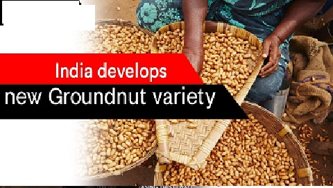 India develops new groundnut line with desirable oil quality